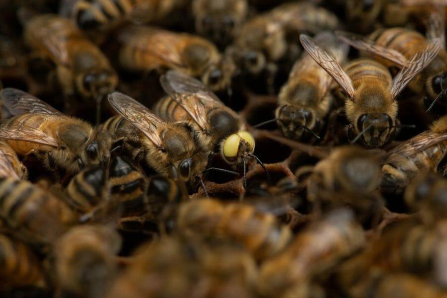 【生物】黄色い目のミツバチが見つかる、きわめてレア
