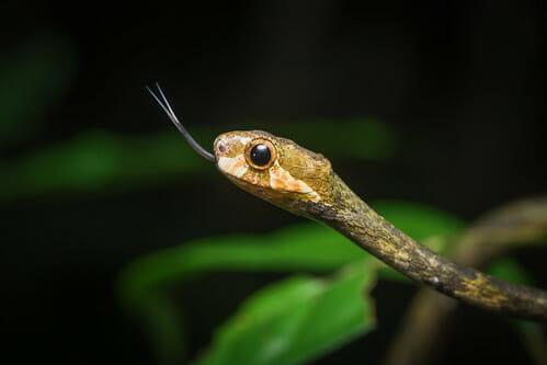 【生物】「フォークとナイフ」持つヘビ発見 研究者もびっくり